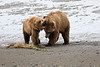 Bear_Beach_Fighting_Silver_Salmon__0033