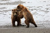 Bear_Beach_Fighting_Silver_Salmon__0023
