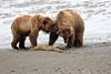 Bear_Beach_Fighting_Silver_Salmon__0036