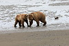 Bear_Beach_Fighting_Silver_Salmon__0001