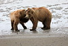 Bear_Beach_Fighting_Silver_Salmon__0007