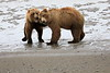 Bear_Beach_Fighting_Silver_Salmon__0005