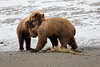 Bear_Beach_Fighting_Silver_Salmon__0038