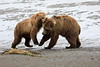 Bear_Beach_Fighting_Silver_Salmon__0030