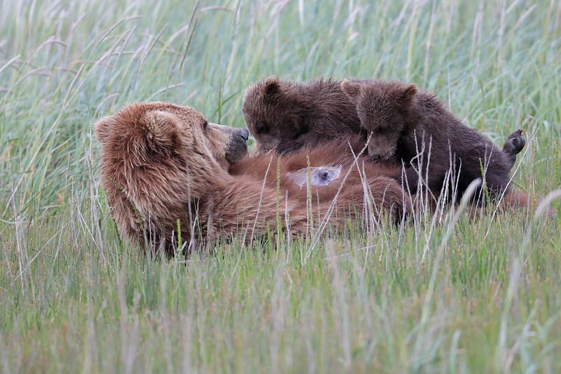 Suckling_Bears_Silver_Salmon_Creek__0022