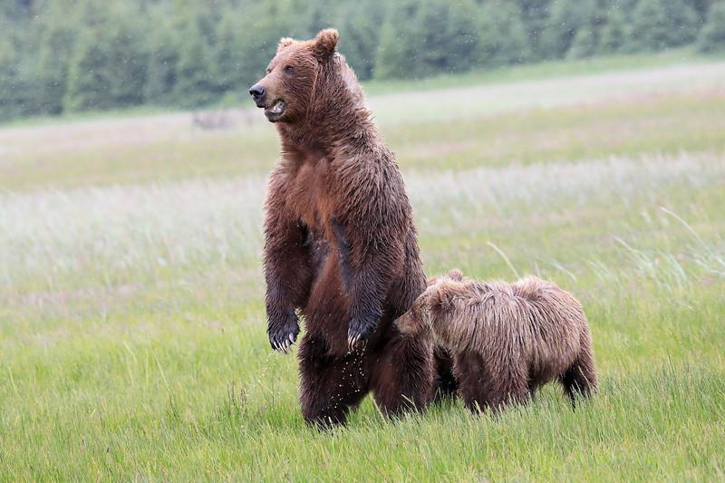 Standing_Bears_Silver_Salmon_Creek__0008
