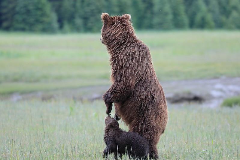 Standing_Bears_Silver_Salmon_Creek__0040