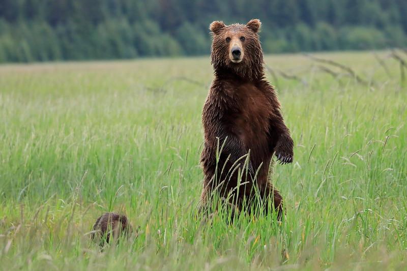 Standing_Bears_Silver_Salmon_Creek__0011