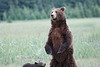 Standing_Bears_Silver_Salmon_Creek__0021
