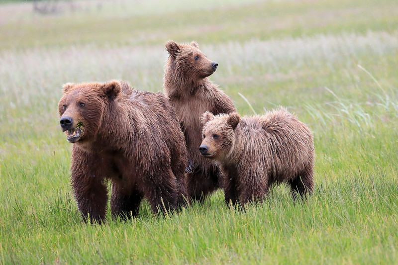 Standing_Bears_Silver_Salmon_Creek__0007