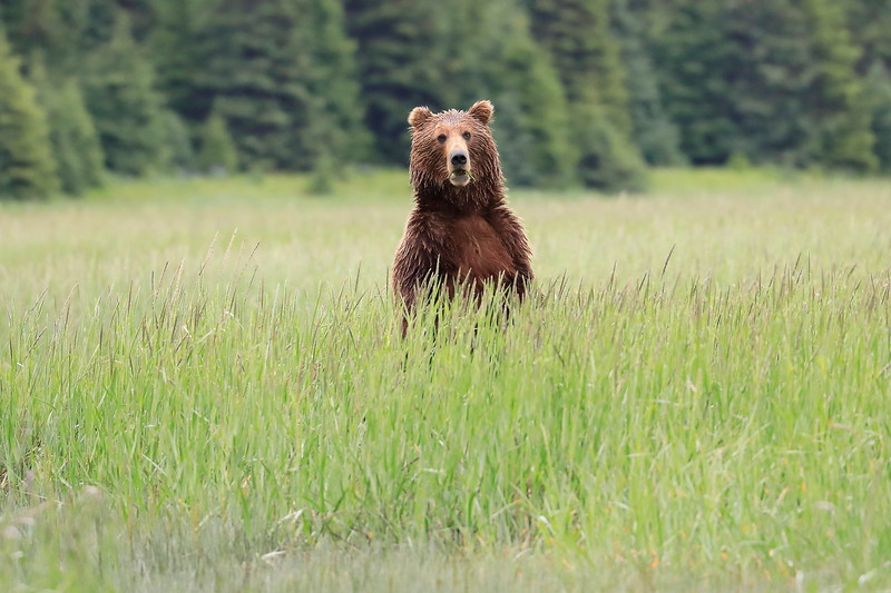 Standing_Bears_Silver_Salmon_Creek__0020
