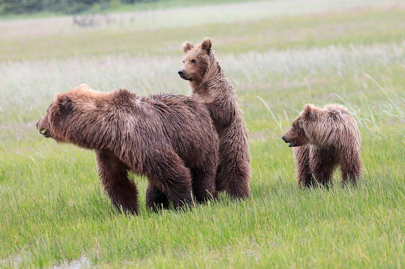 Standing_Bears_Silver_Salmon_Creek__0004