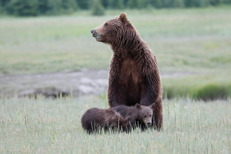 Standing_Bears_Silver_Salmon_Creek__0031