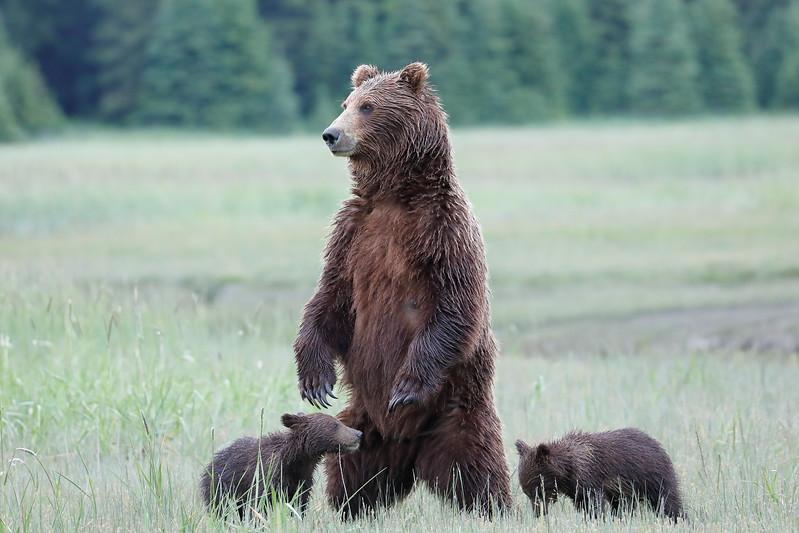 Standing_Bears_Silver_Salmon_Creek__0033