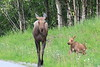Moose_Anchorage__0004