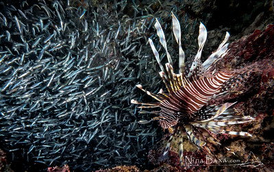 Lionfish with Silversides - Cayman.