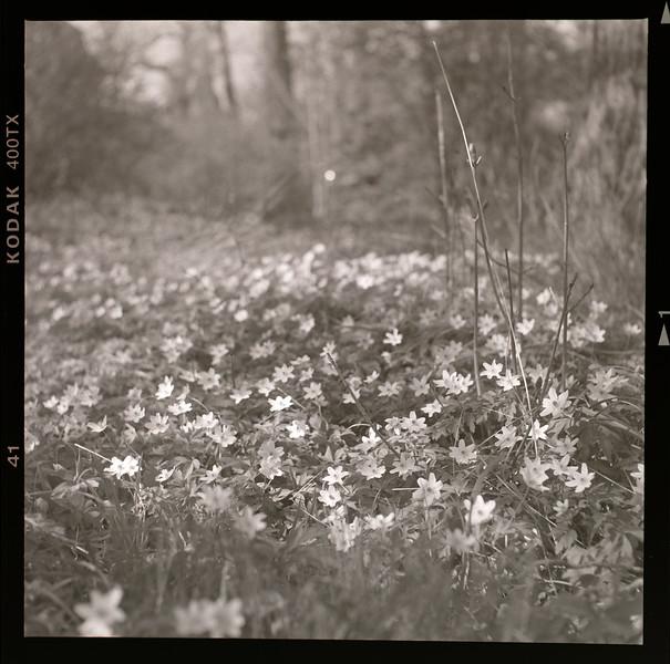 Vitsippor på Djurgården. Fotograferade av Mats Hayen den 30 april 2021 med en Rolleiflex K4A Automat från 1951-54. Slutartid: 1/125 s. Bländare: 5,6.  Film: Kodak 400TX. Negativ avfotograferat på Microlight ljusbord med Mikro Nikkor 40 mm. Fotografiet är taget klockan 14.48.