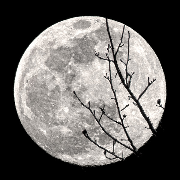 Winter Moon Silhoutted by a Leafless Branch