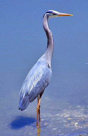 GREAT BLUE HERON ON THE WATCH
