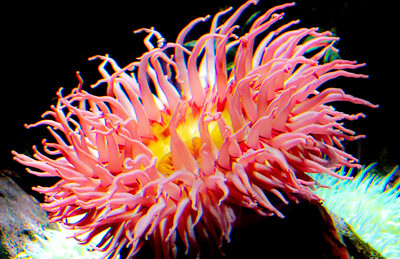 A Pink Jewel of the Sea