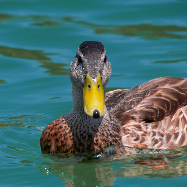 Closeup of Duck on a lake