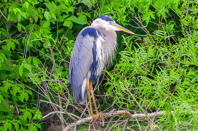 Great Blue Heron at Rest