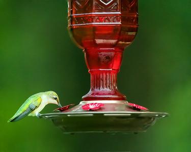 Feeding Hummigbird