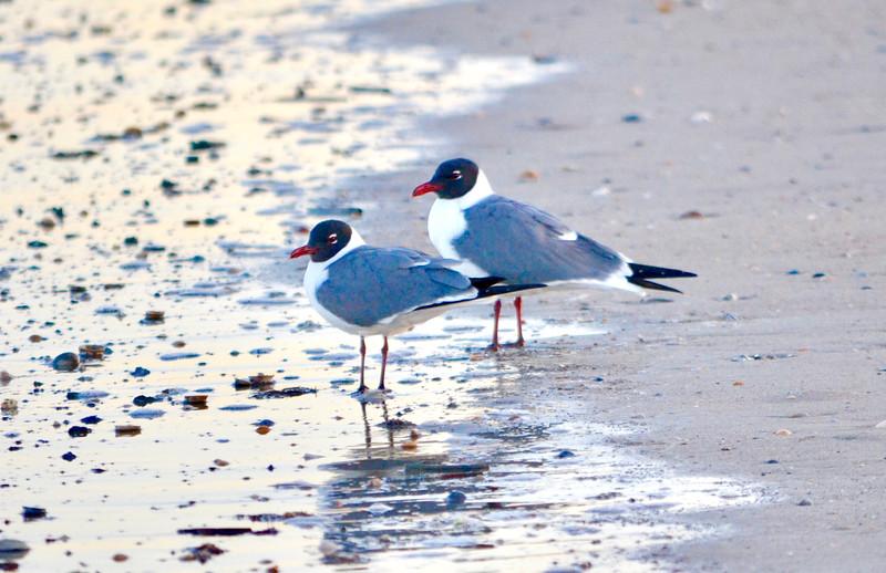 Black headed Seagulls
