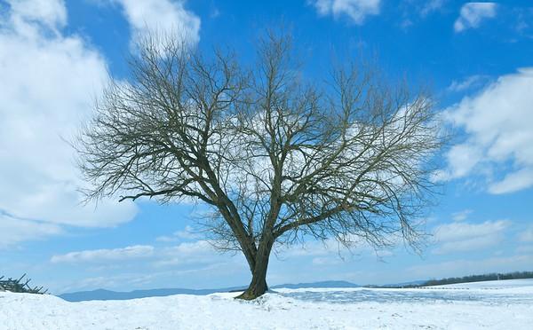 Lone Old Tree on a snowy Gettysburg Battlefield