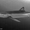 Blue Shark - Simon's Town by Tracey Jennings