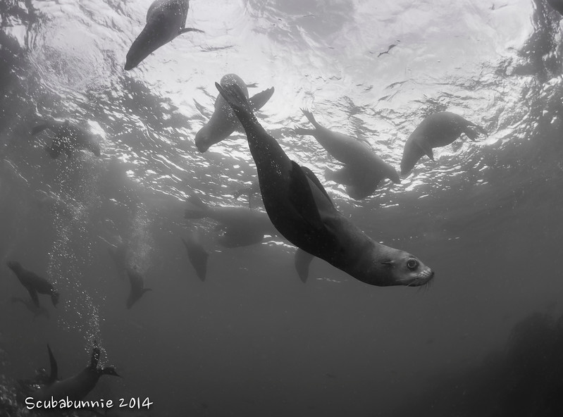 Cape Fur Seal - Simon's Town by Tracey Jennings