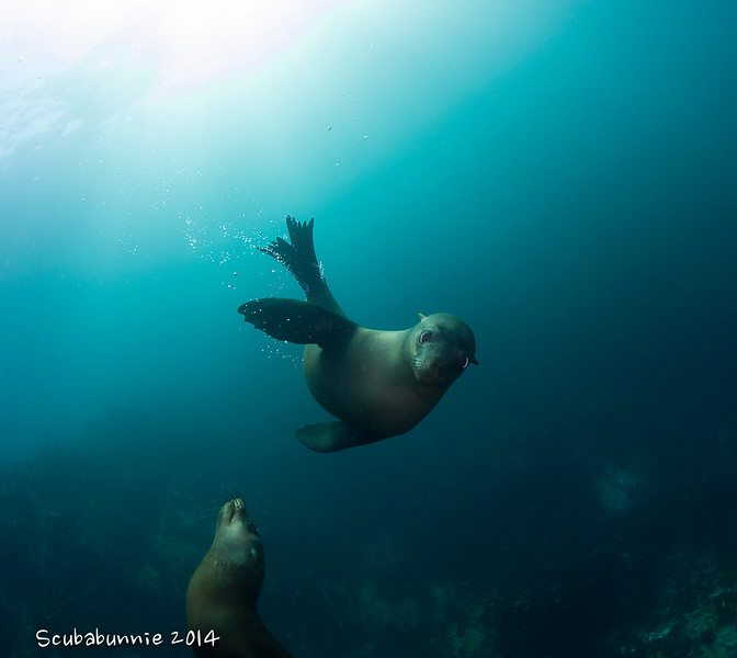 Cape Fur Seals - Simon's Town by Tracey Jennings