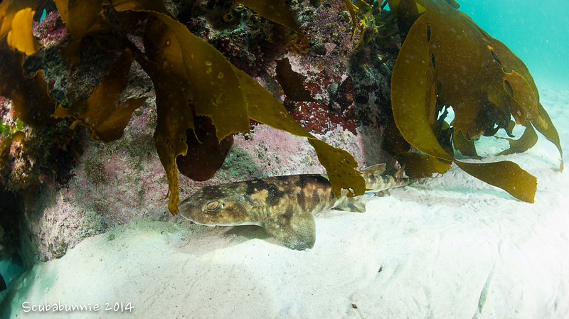 Cat Shark - Simon's Town by Tracey Jennings