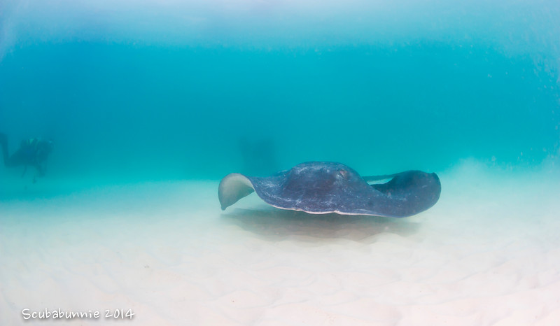Giant sting ray - Simon's Town by Tracey Jennings