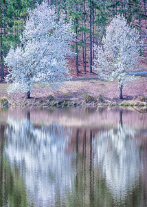 Flowering Tree Reflection