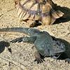 _1020020 Horned Lizard