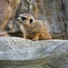 _1010958 Slender-Tailed Meerkat