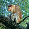 _1010926 Proboscis Monkey