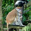 _1010986 Patas Monkey