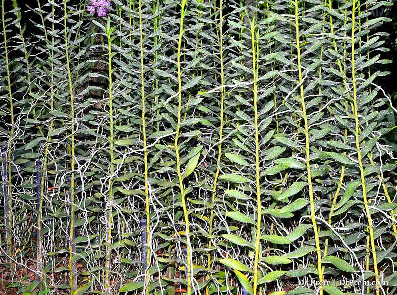 Flowers - Botanic -Garden - Orchid Garden - Singapore BY DR PREM-030