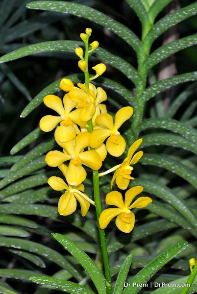 Flowers - Botanic -Garden - Orchid Garden - Singapore BY DR PREM-029