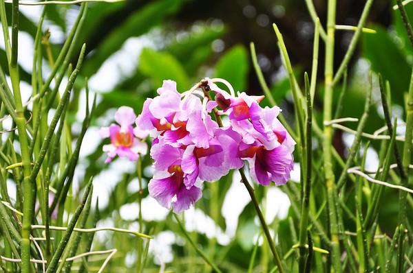 Flowers - Botanic -Garden - Orchid Garden - Singapore BY DR PREM-034