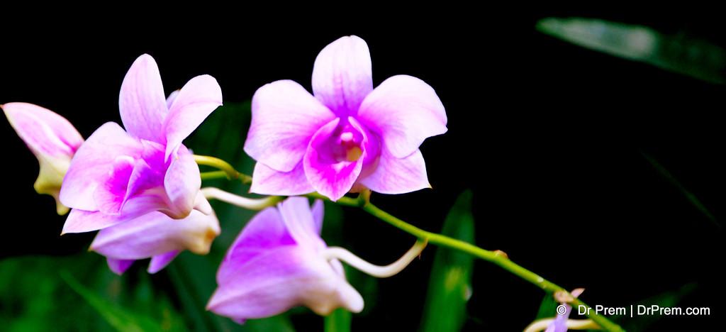 Flowers - Botanic -Garden - Orchid Garden - Singapore BY DR PREM-023