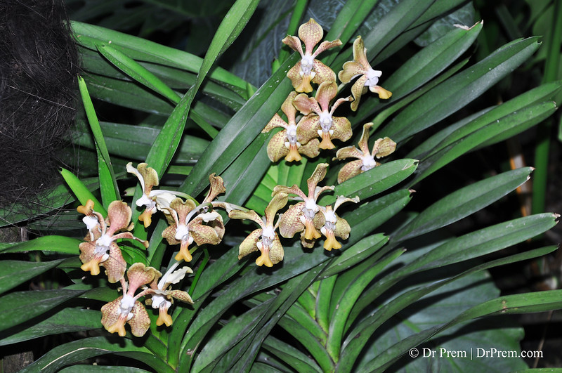 Flowers - Botanic -Garden - Orchid Garden - Singapore BY DR PREM-078