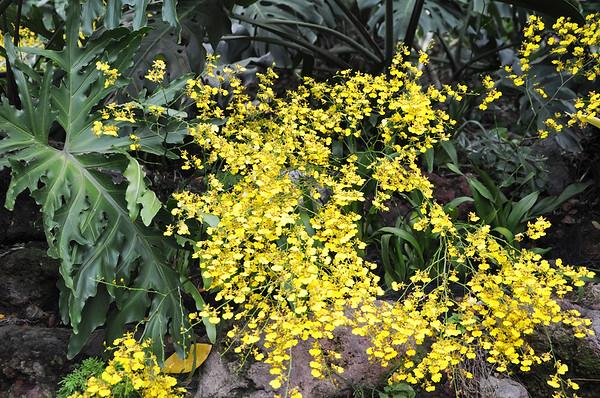 Flowers - Botanic -Garden - Orchid Garden - Singapore BY DR PREM-018