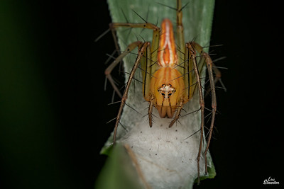 Female Lynx Spider