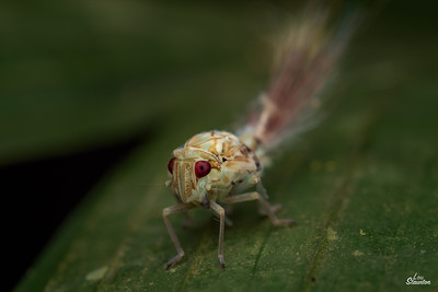 Planthopper nymph