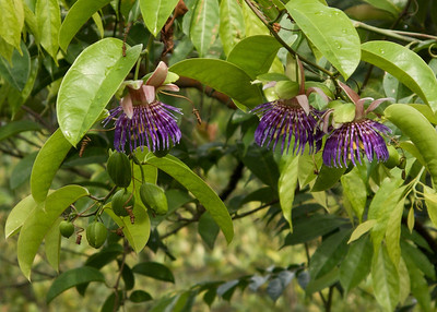 Passionfruit Along Southern Ridges Hike Trail