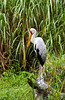 Yellow Billed Stork, Myeteria ibis at the Jurong Bird Park in Singapore, East Asia.