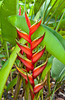 Heliconia spcecies in the Singapore Botanic Gardens, East Asia.